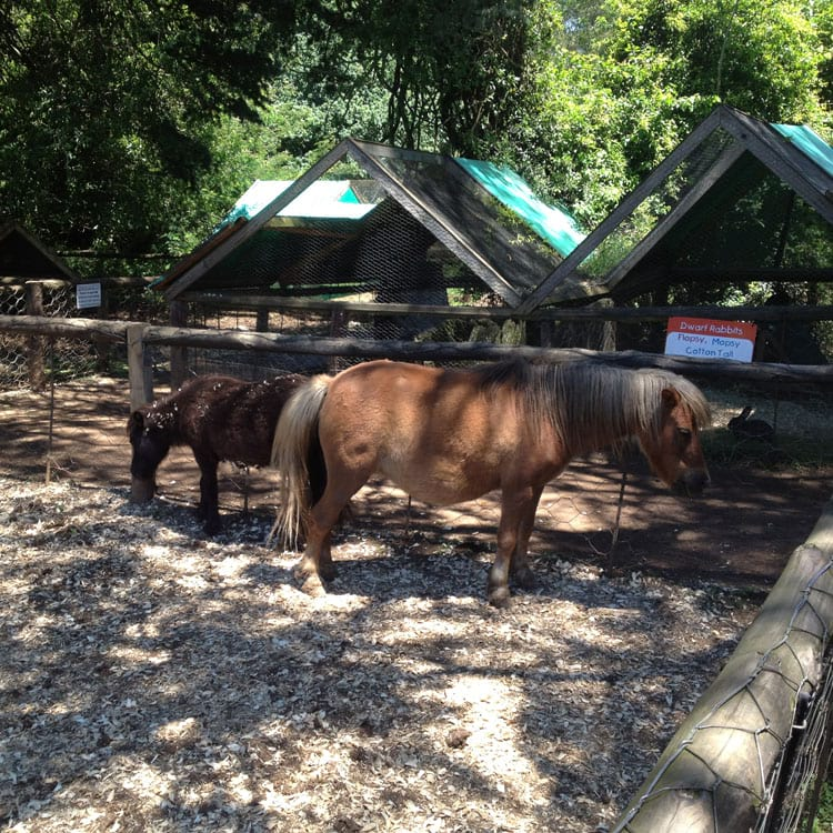 Miniature Ponies At Yellowwood Farm in Howick